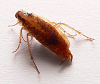 cockroach_german