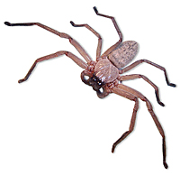 huntsman_spider